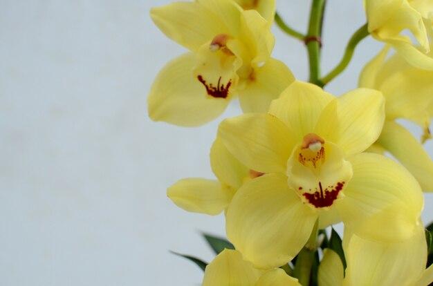 Cymbidium jaune sur blanc bakcground