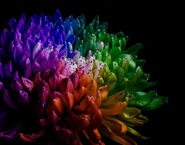 Dahlia couleur arc-en-ciel.