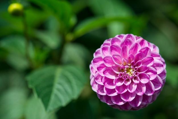 Dahlia fermain fleur, gros plan