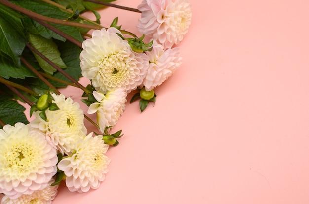 Dahlia fleur sur fond rose