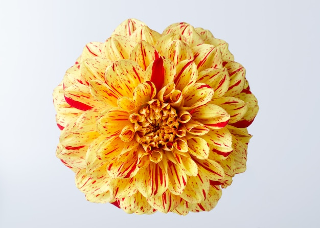 Dahlia jaune vif contre blanc