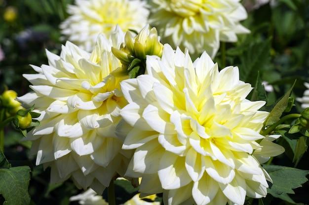 Dahlias jaunes dans le jardin