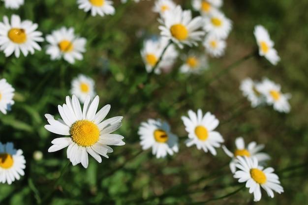 Daisy et buisson de jasmin en été