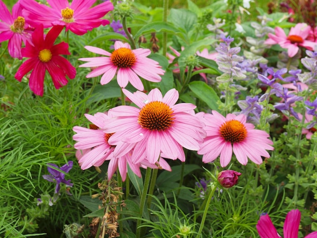 Daisy plante (bellis perennis) fleur rose