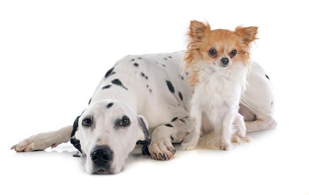 Dalmatien et chihuahua