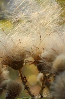 Dandelion vue de face