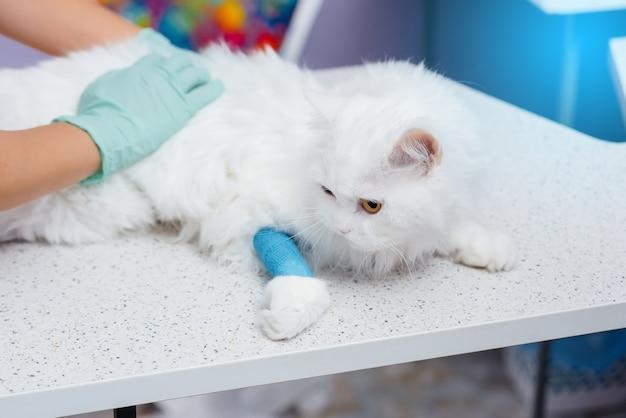 Dans une clinique vétérinaire moderne, un chat pur-sang est examiné et traité sur la table. clinique vétérinaire.