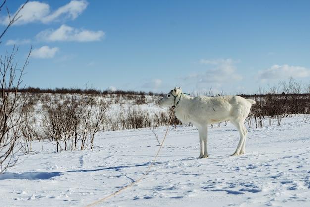 Dans l'extrême nord froid sur un champ couvert de neige se dresse un jeune cerf blanc