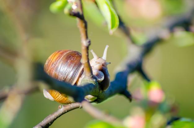 Dans une ferme, les escargots rampent le long des arbres fruitiers