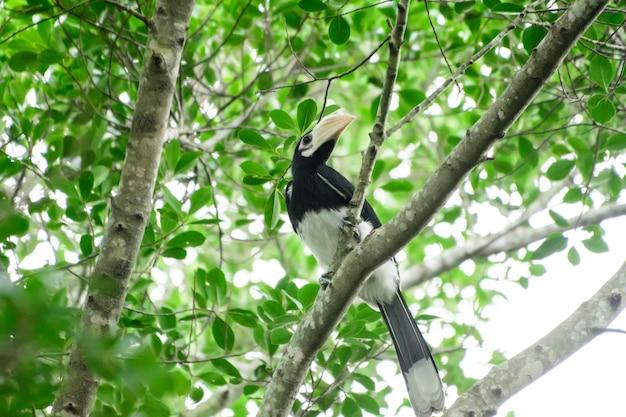 Dans une forêt complète certains jours nous trouverons un calao noir vivant