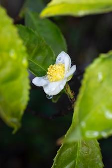 Dans les gouttes de pluie fleur de théier camellia sinensis fleur blanche sur une branche, théier chinois en fleurs, gros plan, plan vertical