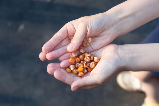 Dans les palmiers des enfants, graines de maïs à planter.