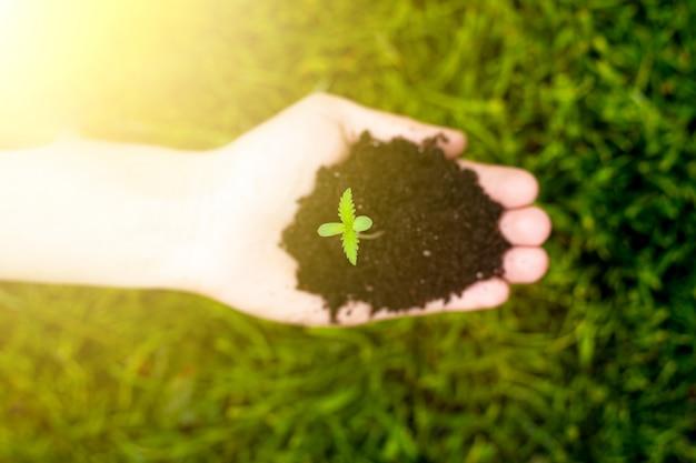 Dans la paume d'une pousse de jeune marijuana au soleil sur un arrière-plan de l'herbe verte vue de dessus. plante de cannabis médical.