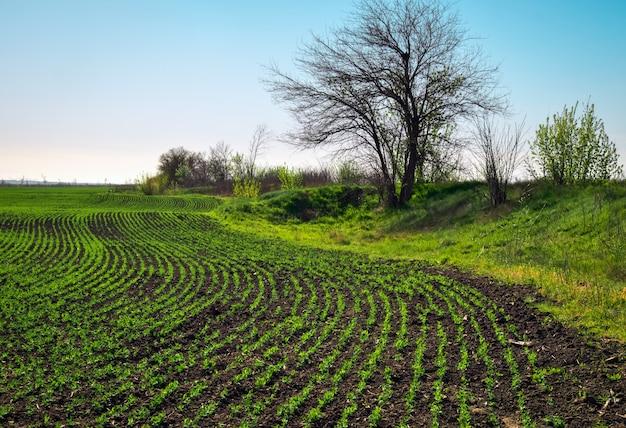Dans le sol, pousses de germes de pois verts. pois de légumes dans le domaine. légumineuses à fleurs. cultivation. beau paysage