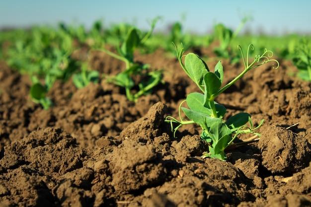 Dans le sol, pousses de germes de pois verts. pousses vertes dans le jardin. pois de légumes dans le domaine. légumineuses à fleurs. cultivation