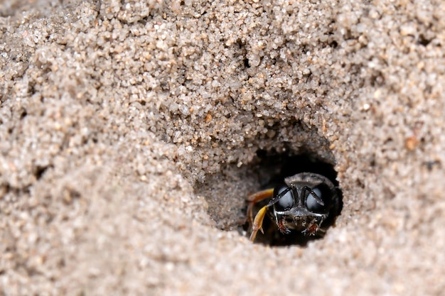 Dasypodaidae aux grands yeux noirs se cachant dans sa grotte de sable