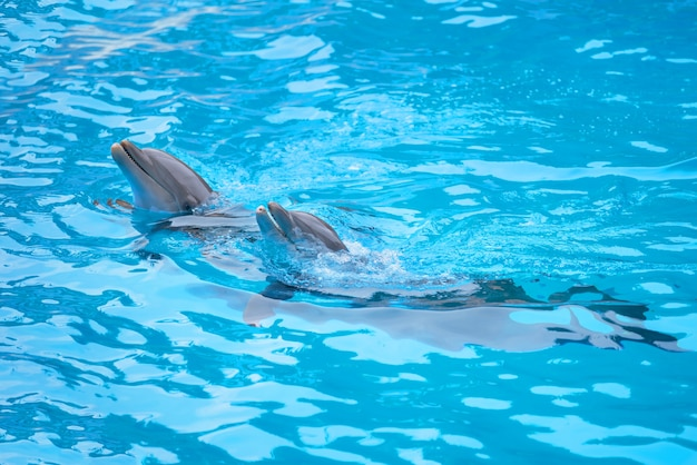Dauphins jouant dans la piscine