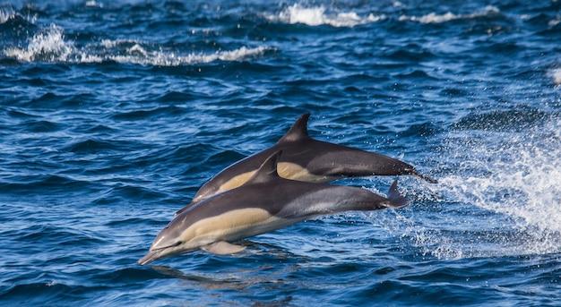 Les dauphins sautent hors de l'eau