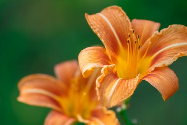 Daylilies orange