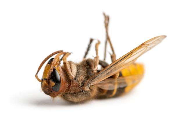 Dead hornet couché sur le dos, isolé sur blanc