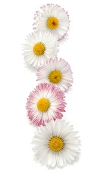 Découpe isolée de belles fleurs de marguerite