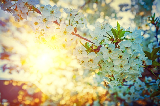 Découvre sur le lever du soleil dans les branches du mur floral de cerisier en fleurs