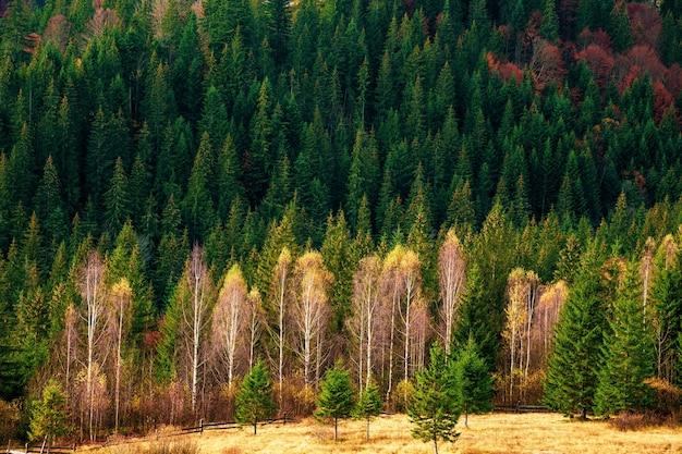 Déforestation dans les forêts des carpates dans un merveilleux automne chaud dans la nature inhabituelle de l'ukraine