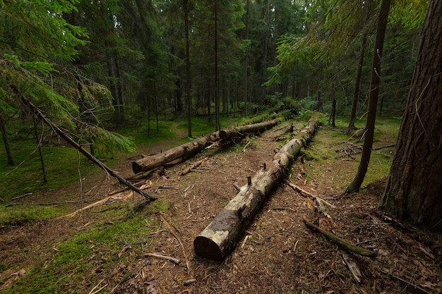 Déforestation dans les forêts de pins du nord-ouest de la russie.