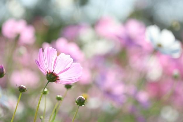 Délicate fleur cosmos rose vue arrière jardin avec fond rose doux bokeh