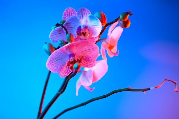 Délicate orchidée rose avec des gouttes de rosée gros plan sur fond bleu clair