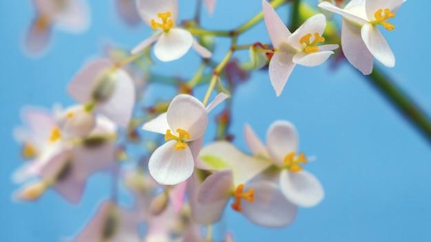 Délicates fleurs de bégonia blanc et rose sur fond bleu clair_