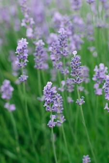 Délicates fleurs de lavande lilas dans le jardin