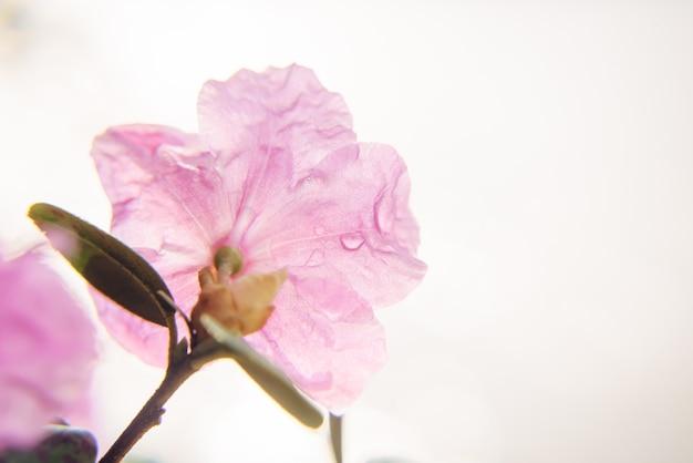 Délicieuse fleur de sakura rose avec gouttes de rosée du matin, gros plan, mise au point douce. floral abstrait, photo pour carte de voeux avec espace de copie.