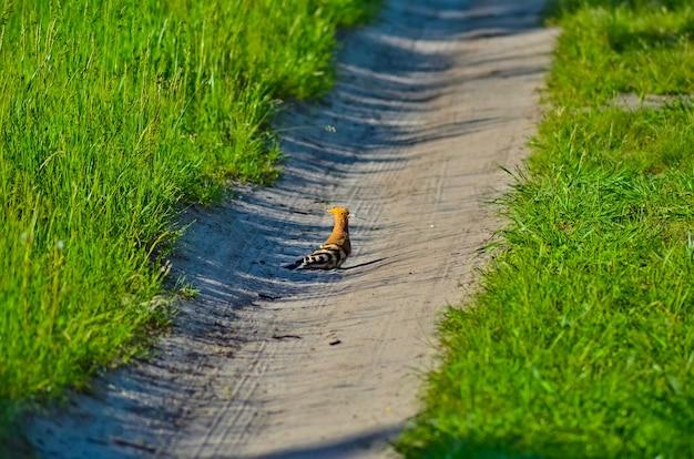 Délicieuse huppe sur une route forestière