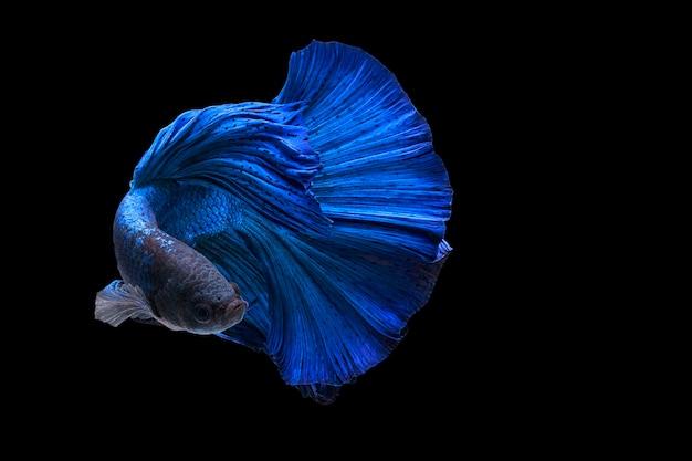 Demi-lune queue bleu betta siamois poissons de combat en action sur fond noir avec clipp