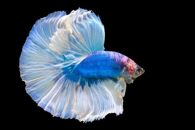 Demi-lune queue bleu marine blanc platine betta siamois poisson de combat en action sur noir b