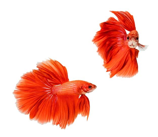 Demi-lune rouge betta splendens ou poisson de combat siamois isolé sur fond blanc.