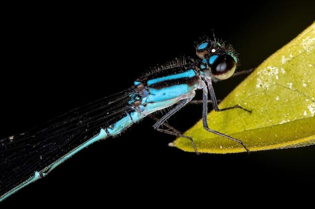Demoiselle à ailes étroites adultes du genre ischnura
