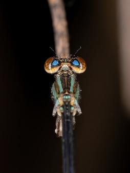 Demoiselle à ailes étroites adultes de la famille des coenagrionidae