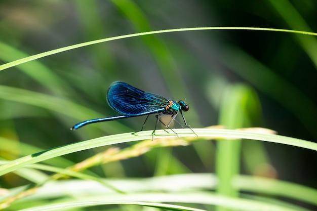 La demoiselle à bandes calopteryx splendens est une espèce de demoiselle appartenant à la famille des calopterygidae, une libellule bleue se repose sur l'herbe dans la forêt