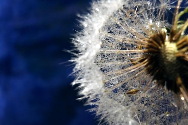 Dendelion. photo macro abstraite de graines de pissenlit. copier l'espace pour le texte