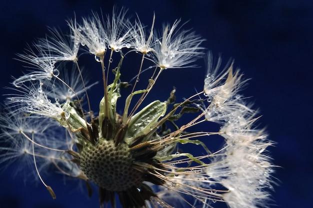 Dendelion. résumé macro photo de graines de pissenlit