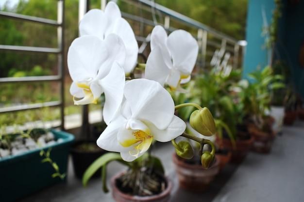 Dendrobium bigibbum communément appelé orchidée cooktown ou orchidée papillon mauve