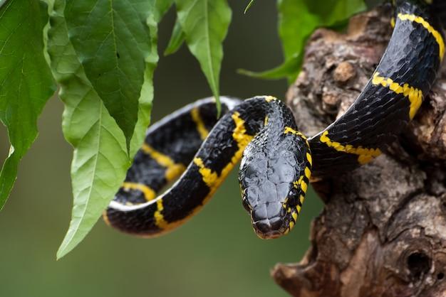 Dendrophilie du serpent boiga en mode défensif
