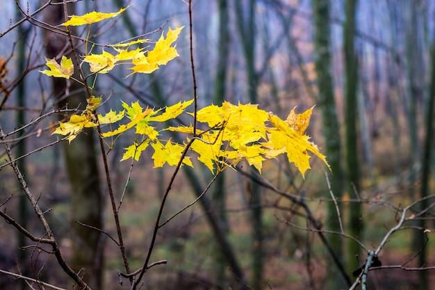 Les dernières feuilles d'érable jaune sur un arbre dans une sombre forêt d'automne