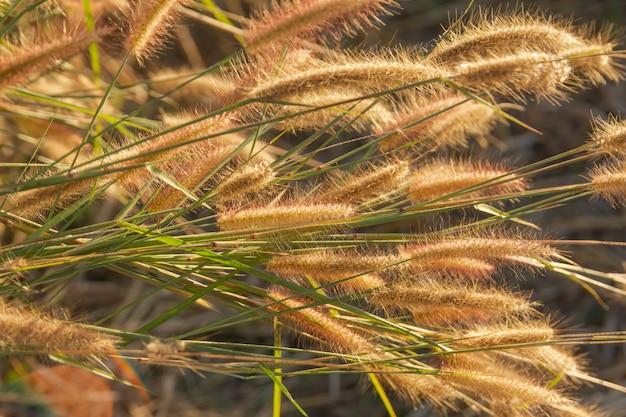 Desho grass, pennisetum pedicellatum et le soleil du coucher du soleil
