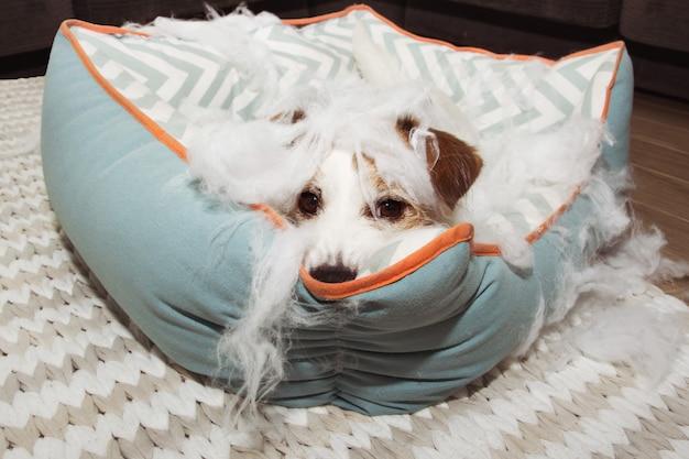 Désobéir un chien après avoir détruit son lit moelleux
