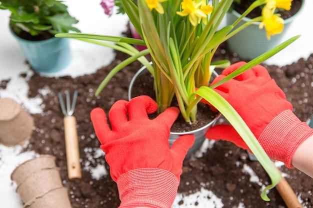 Dessus des mains de la personne dans les gants rouges qui transplantent le chrysanthème