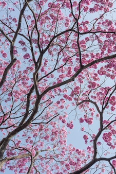 Détail D'un Arbre Montrant Des Branches Et Des Fleurs Roses. Photo Premium