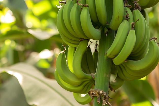 Détail d'une bananeraie à louxor, egypte.